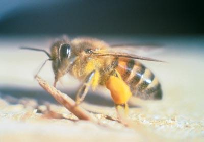afrička pčela