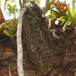 patuljasta pčela